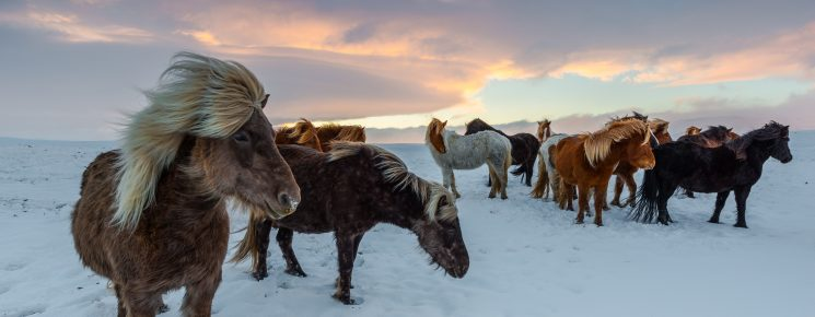 iceland horses, winter, frosty